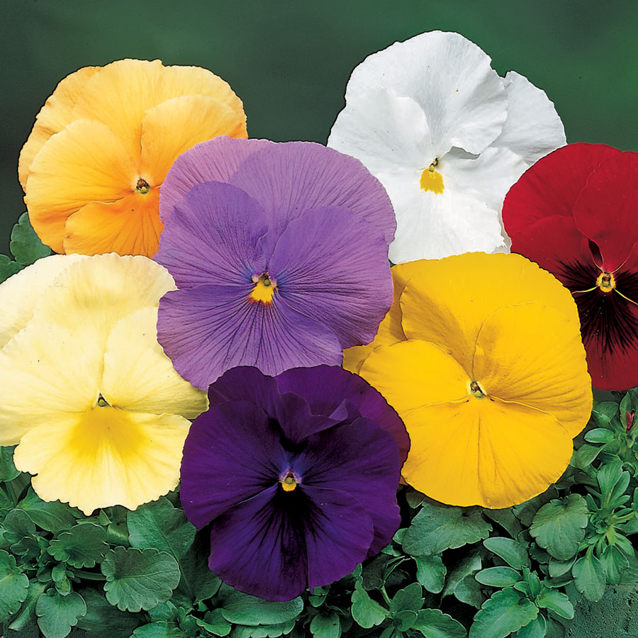Delta Pure Colors Mix Pansy Seeds