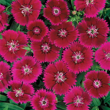 Ideal Violet Dianthus Seeds