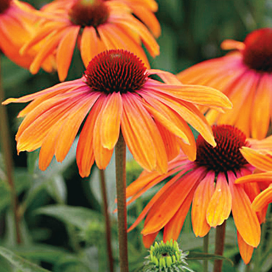 Rainbow Marcela Coneflower [WS-22407]