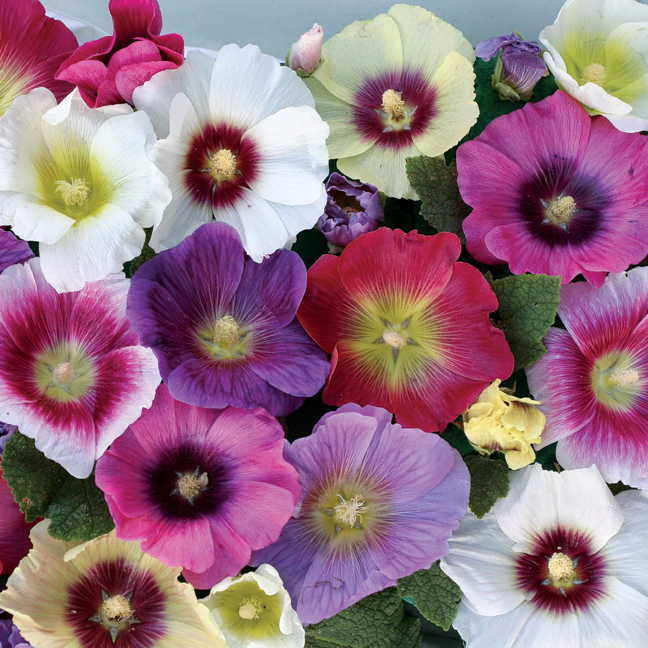 Halo Mix Hollyhock Seeds