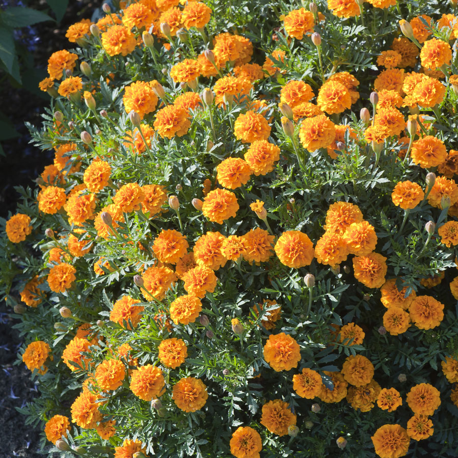 Mowgli Orange Marigold Seeds