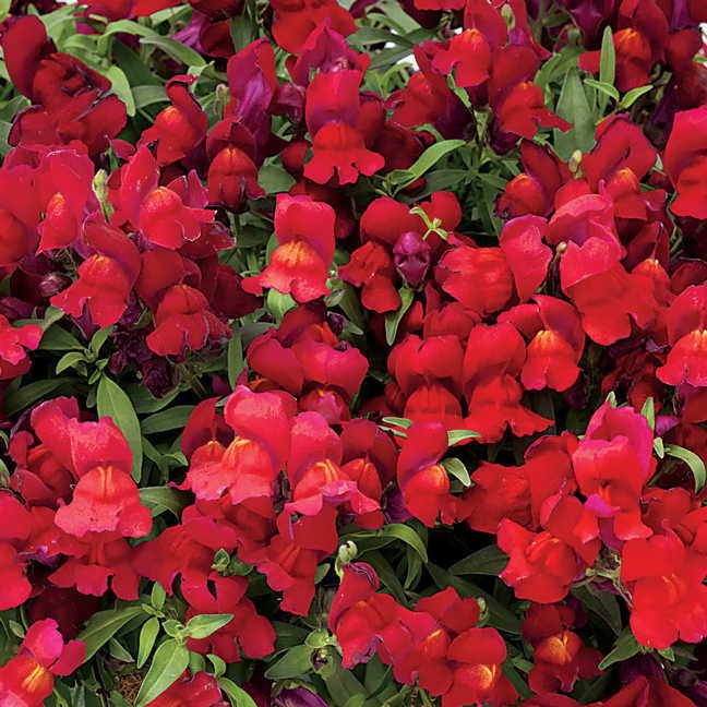 Candy Showers Red Snapdragon Seeds Ws 22287 4 00 Weseeds Com