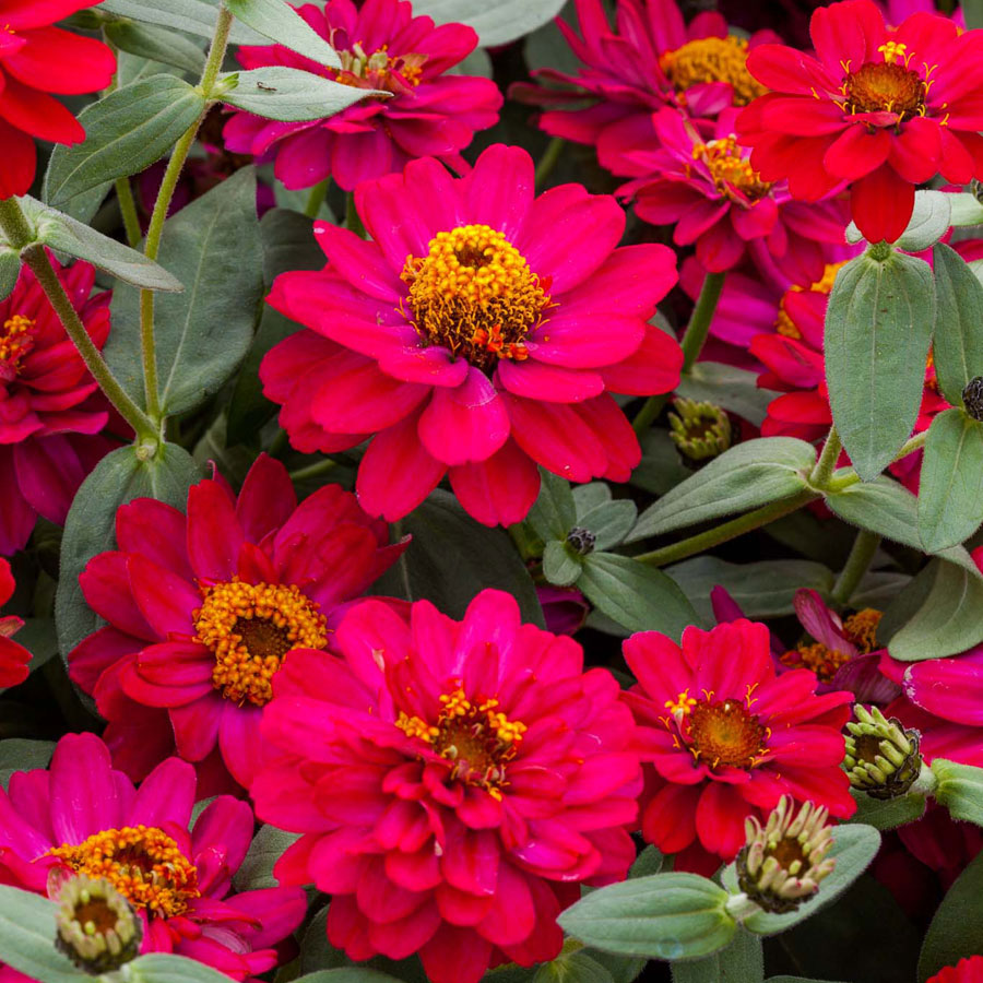 Zinnia Profusion Double Hot Cherry Seeds
