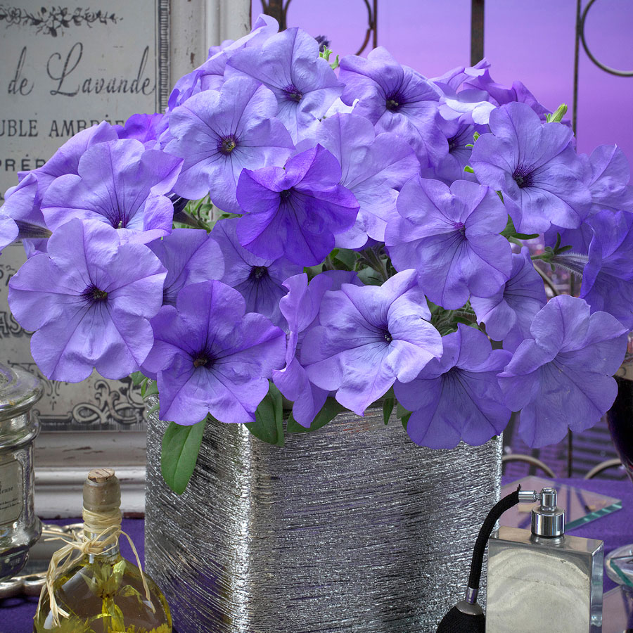 Evening Scentsation Petunia Seeds [WS-22157]
