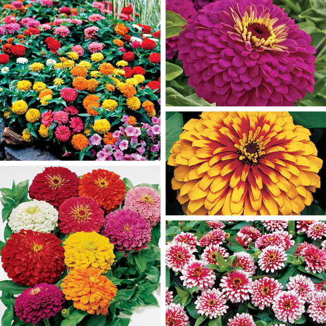 Top Zinnia Seed Collection
