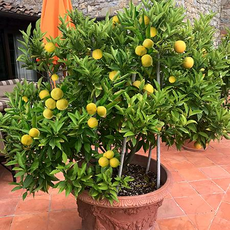Meyer Lemon Tree Tr 8532 45 96 Weseeds Com