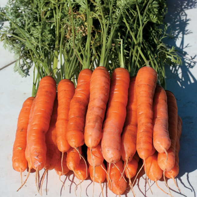 Yaya Hybrid Carrot Seeds