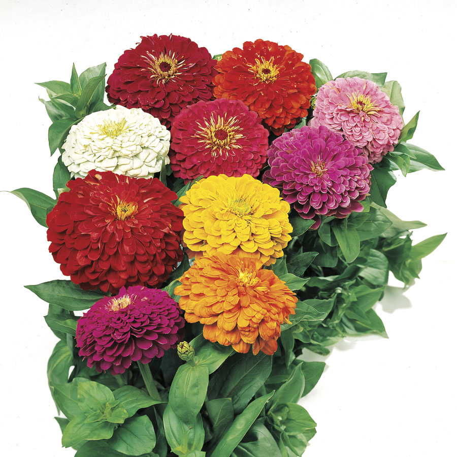 Park's Picks Mix Zinnia Seeds