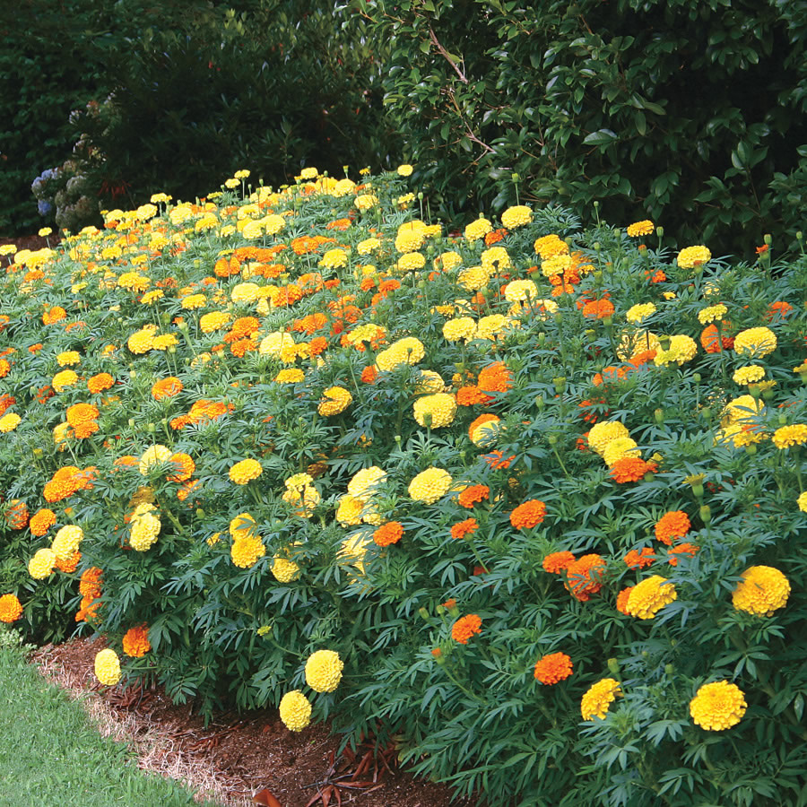 Park's Whopper Mix Marigold Seeds