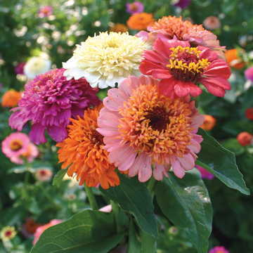 Candy Mix Zinnia Seeds
