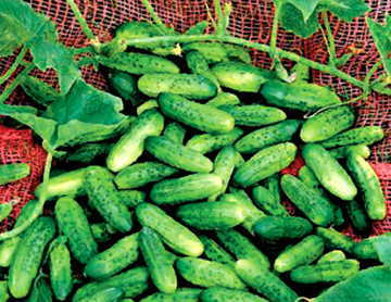 Alibi Cucumber Seeds