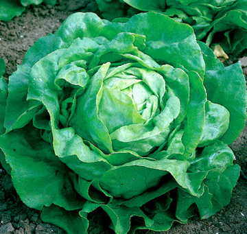 Little Gem Lettuce Seeds
