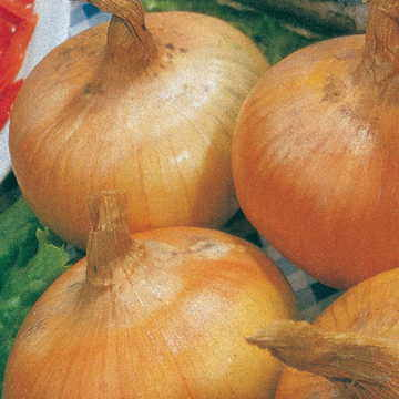 Yellow Granex Hybrid 33 Onion Seeds