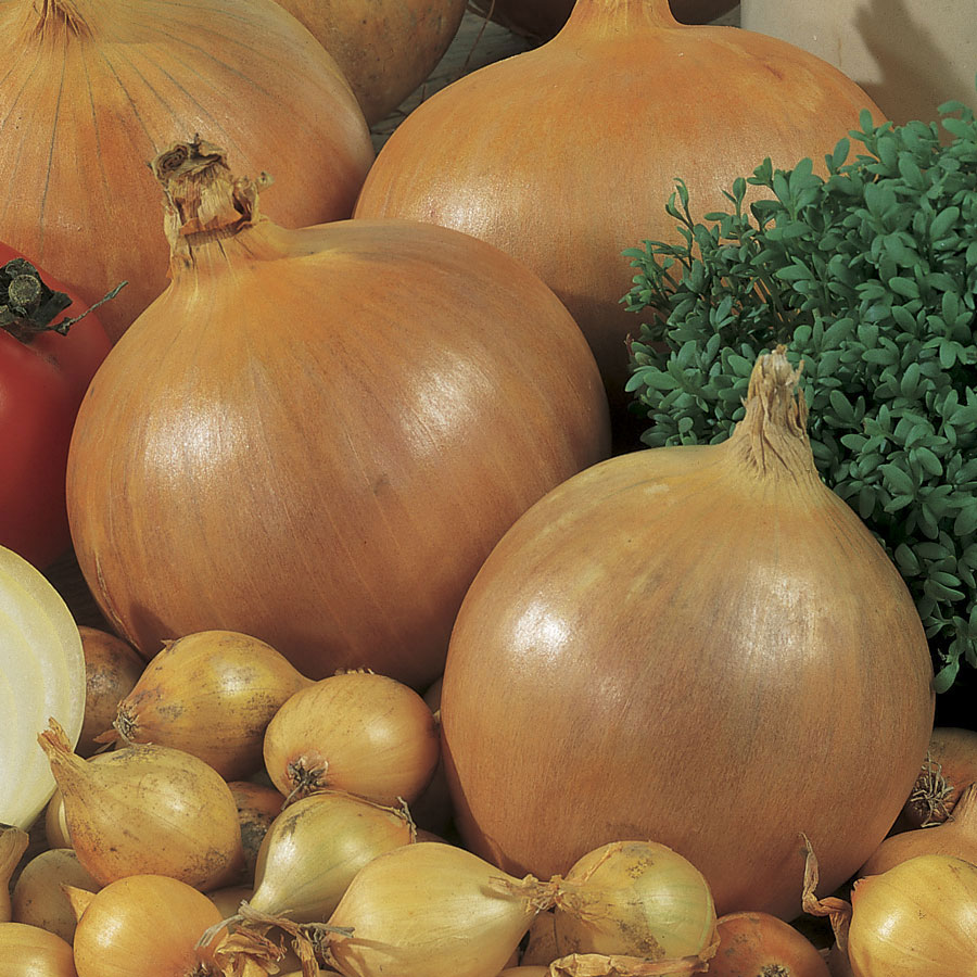 Candy Hybrid Onion Seeds