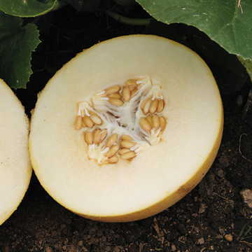 Dove Hybrid Melon Seeds