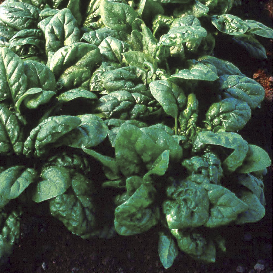 Tyee Hybrid Spinach Seeds
