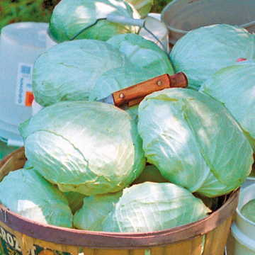 Tropic Giant Hybrid Cabbage Seeds