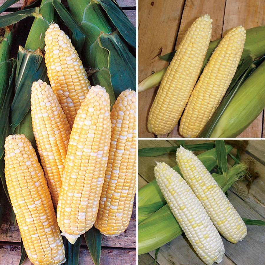 Mirai® Corn Seed Collection