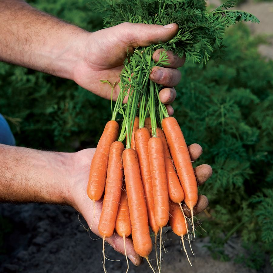Mini Adelaide Hybrid Carrot Seeds