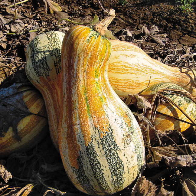 Autumn Colors Cushaw Pumpkin