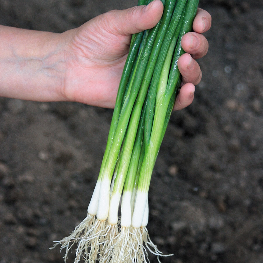 Guardsman Hybrid Onion Seeds [WS-16245]