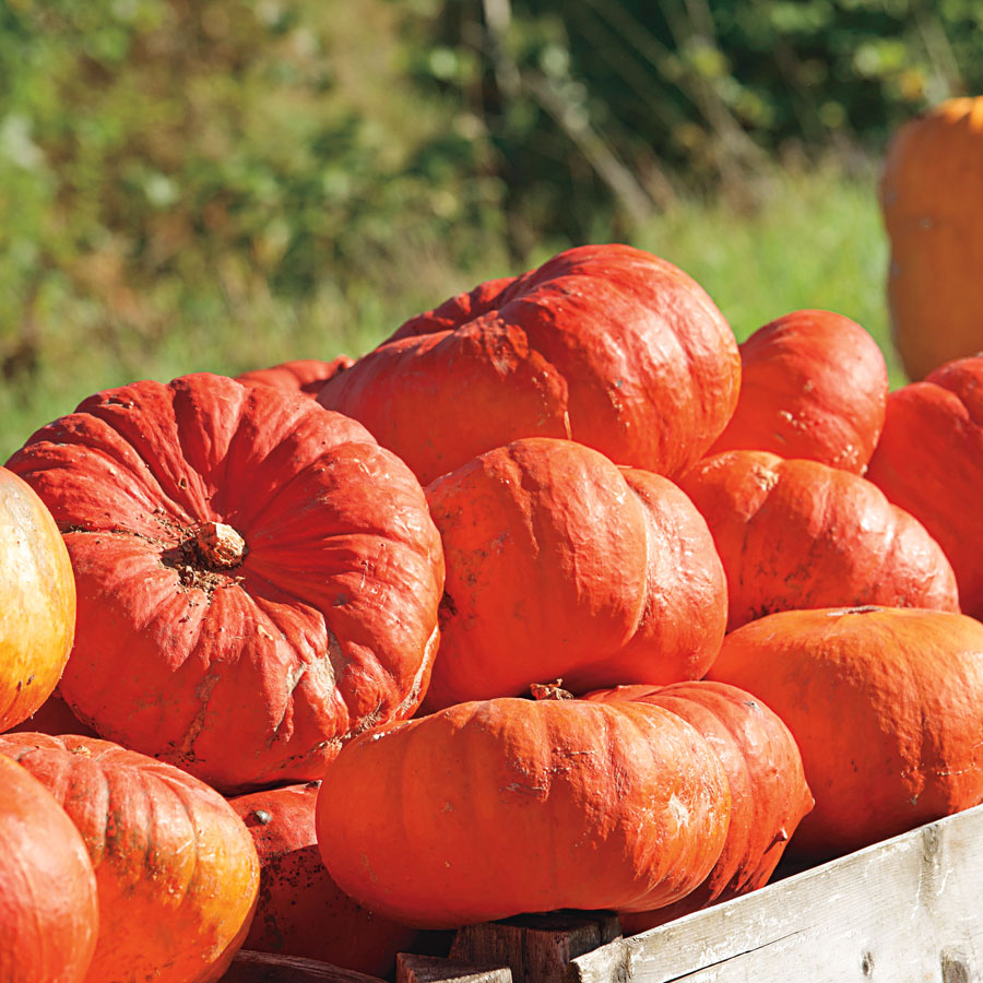 Cinderella's Carriage Hybrid Pumpkin Seeds