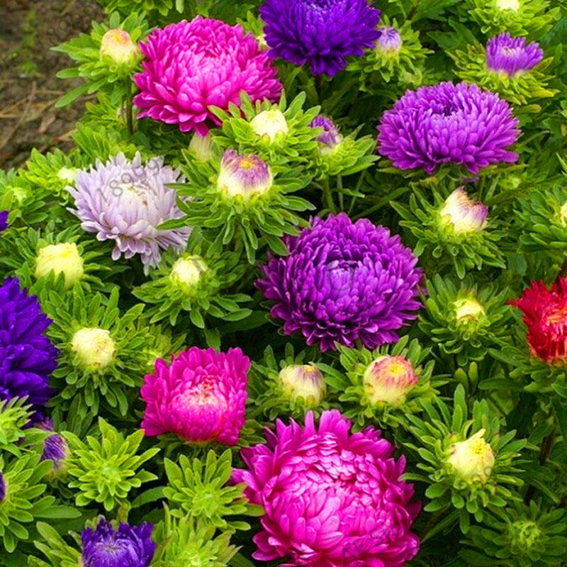 30pcs/pack multi-color aster bonsai seeds chinese chrysanthemum flower garden for home gaden plants