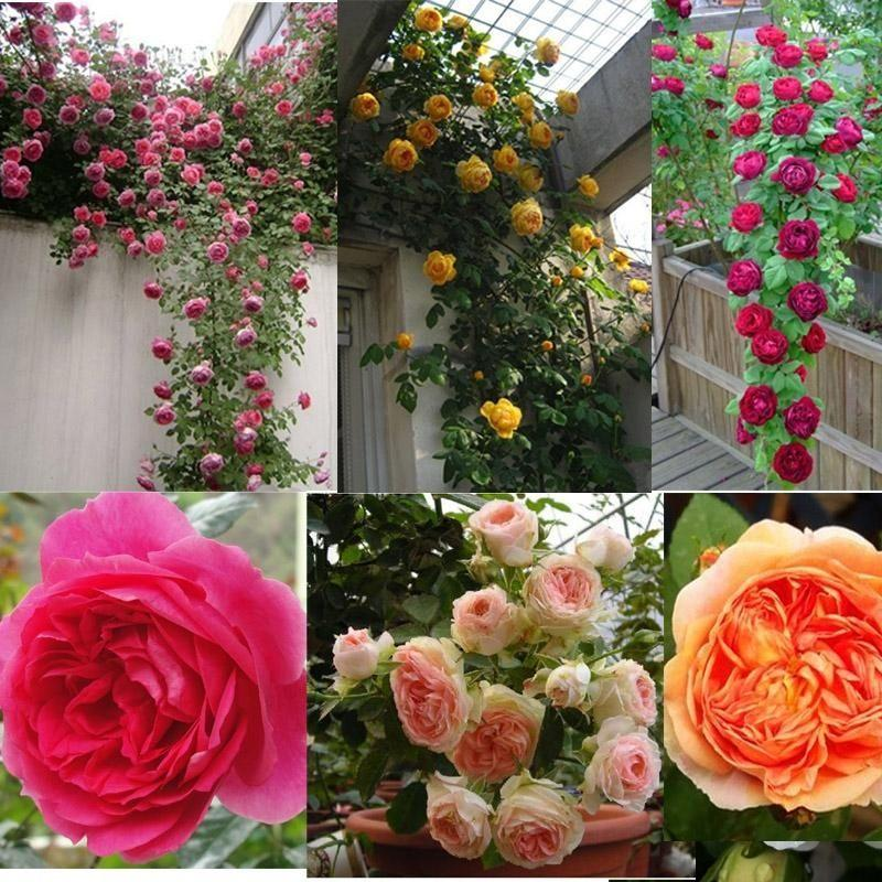 100pcs/pack climbing rose seeds courtyard plants flower seeds for home garden plant