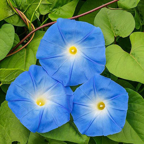 20pcs/pack morning glory seeds heavenly blue flowers gardening path decorations