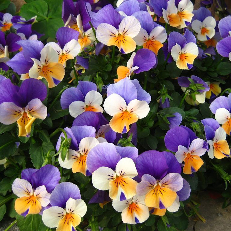 100pcs pansy seeds mix color wavy tri color flower seed bonsai potted
