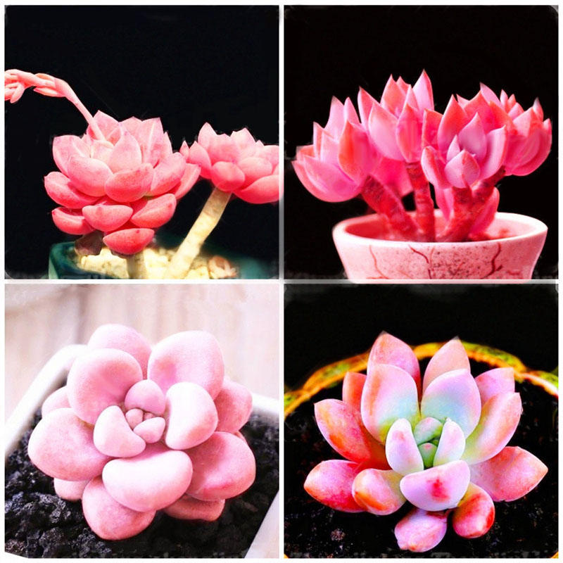 100pcs/pack pink succlents seeds diy plant bonsai potted flowers for home garden courtyard