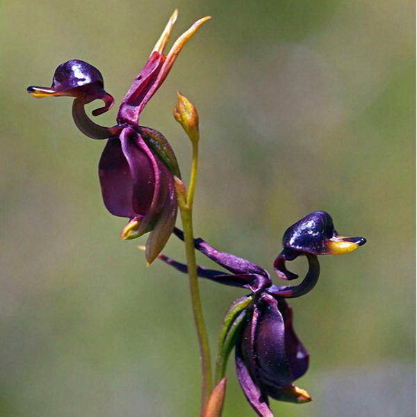 100pcs/pack caleana major flying duck orchid seeds garden potted decor flowers plants seeds