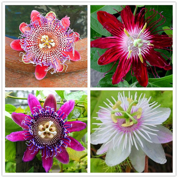 50pcs/pack passion flower seeds garden rare passiflora incarnata fruit plants seeds