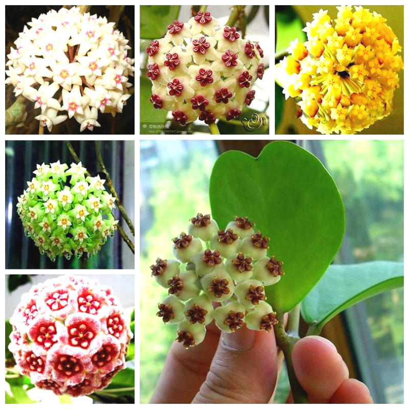 20pcs/pack hoya seeds potted seed hoya carnosa flower seed garden plants