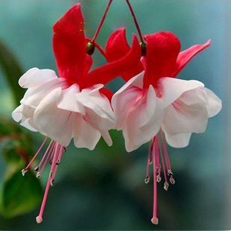 10pcs fuchsia lanterns flower seeds garden balcony begonia bell pot flower seeds