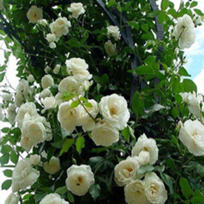 30pcs/bag white rose flowers seeds climbing rose for home garden vampire rose flowers