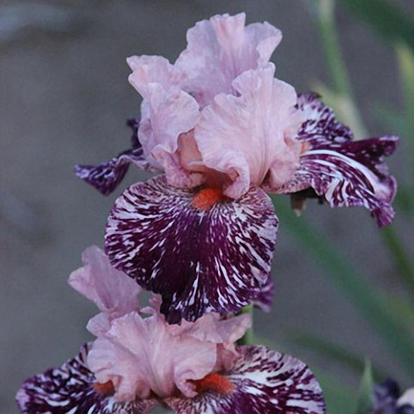 50pcs/bag iris tectorum seeds rare iris seeds bonsai flower seedsme garden