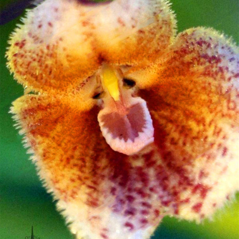 100pcs/packs monkey face orchid seeds home garden bonsai flowers seeds planting