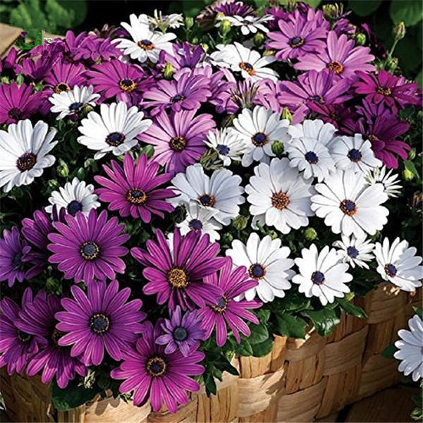 30pcs/pack white purple miracle daisy seeds mix color bonsai plants ornamental fower seeds
