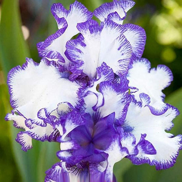 50pcs/bag iris tectorum seeds rare iris seeds bonsai flower seeds