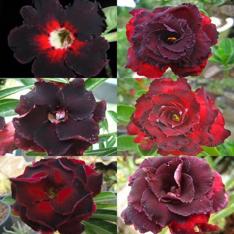 5pcs/pack brown black desert rose seeds balcony bonsai ornamental flowers adenium plants