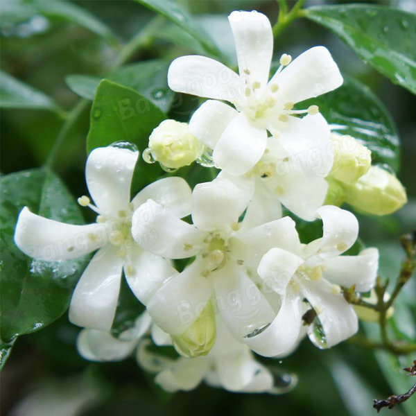 20pcs bonsai jasmine flower seeds garden outdoor balcony climbing flower seeds