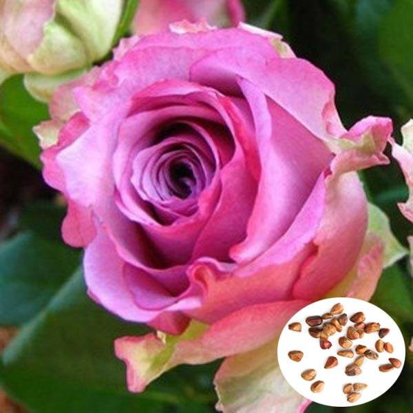 50 Pcs Purple Red Rose Seeds DIY Home Garden Dec