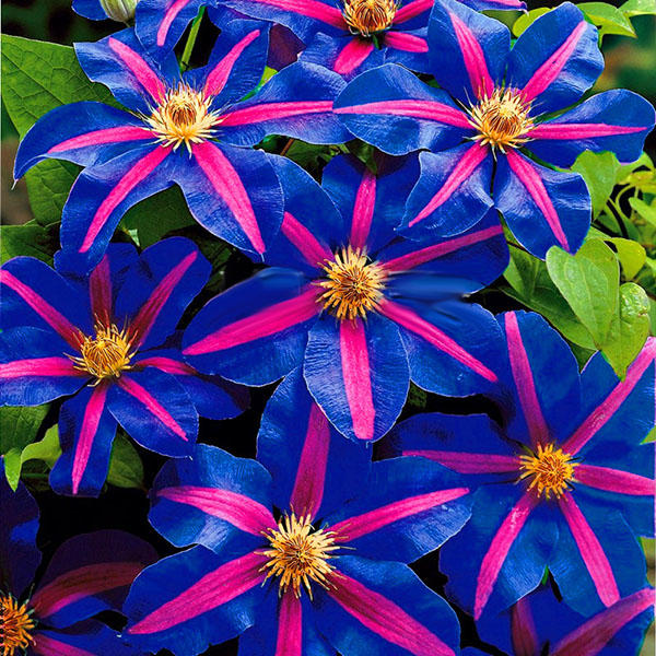 100 pcs/pack climbing clematis bonsai seeds perennial courtyard bonsai flower plants for home garden
