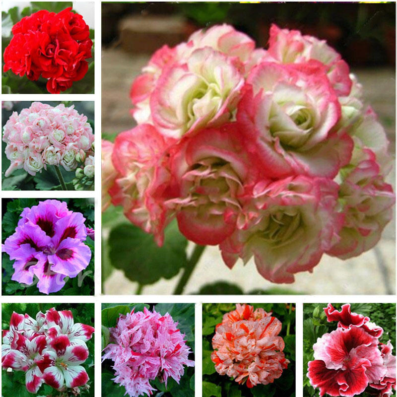 100 pcs geranium seed garden potted flower seeds pelargonium plant bonsai outdoor flower seeds