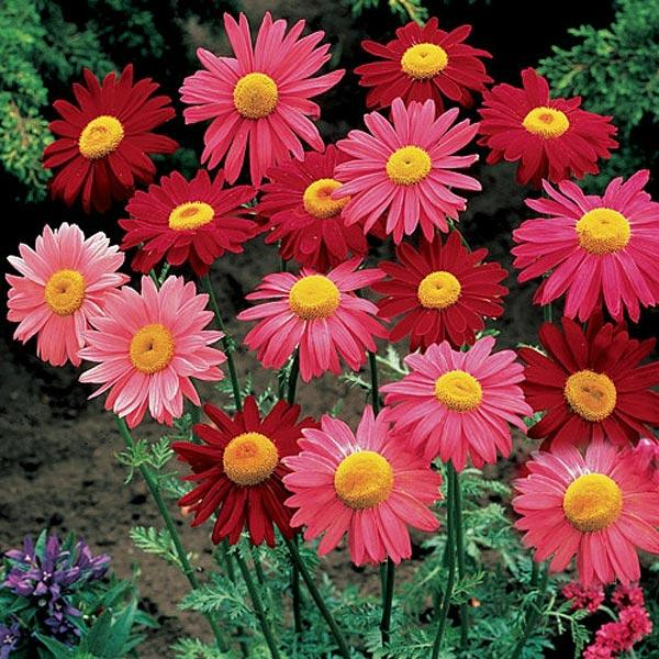 20 Garden Home Planting Pyrethrum Seeds Mixing