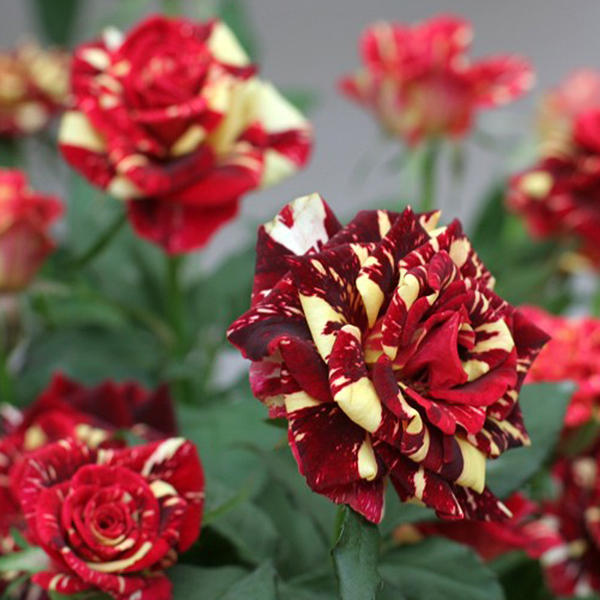 30Pcs Meteoric Shower Rose Seeds Abracadabra Seeds DIY Home Garden Dec