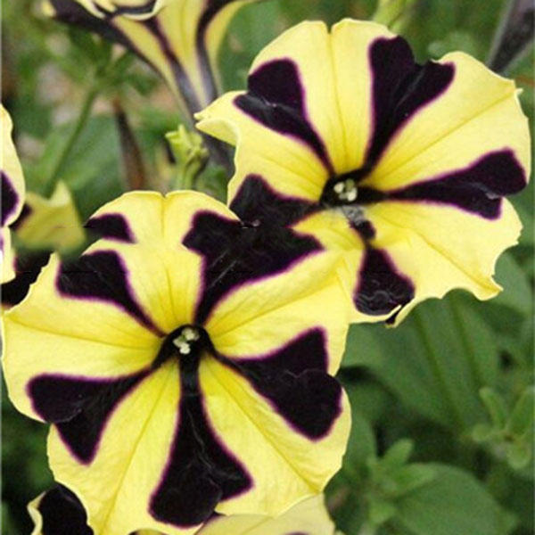 100pcs/pack petunia bonsai seeds four seasons can be planted perennial flowers