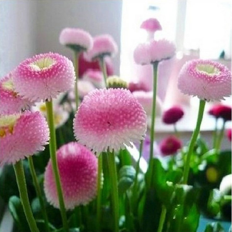 200pcs strawberry ice cream little daisy seeds bonsai plants seeds for home garden