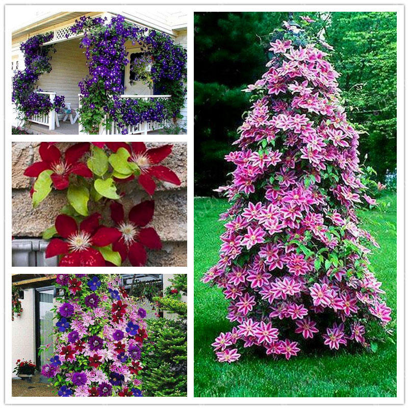 100pcs clematis flower seeds perennial vines climbing clematis plant seed garden decoration